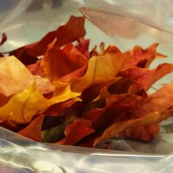 Ajantasa: Syksyn lehdistä uutettavissa väriaineita teollisuudelle