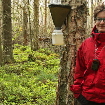 Metsäradio.: Hyönteistutkimusta majavatuhoalueella