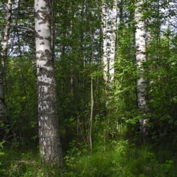 Metsäradio.: Lisää lehtipuita suomalaisiin metsiin