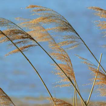 Järviruoko - lintujen suojapaikkoja, villavia kukintoja ja himmeleitä