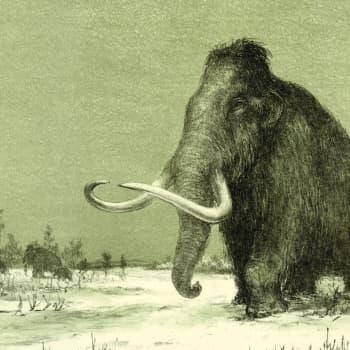 Metsästettiinkö viimeiset villamammutit sukupuuttoon vai kuolivatko ne nälkään tai janoon?