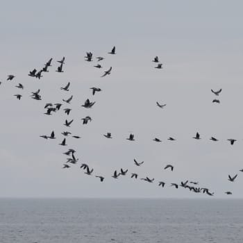 Miten linnut muuttavat?