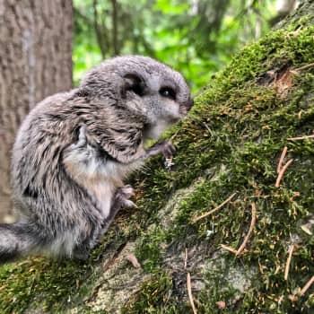 Salaperäinen liito-orava