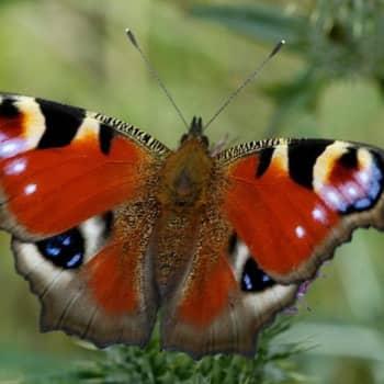 Kannattaako kaupungissa harrastaa perhosia?