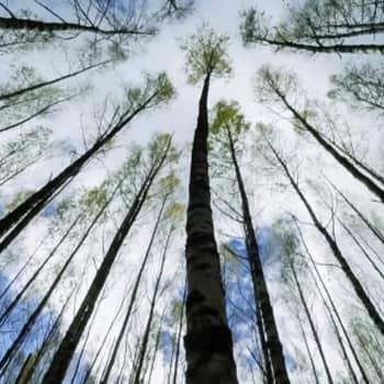 Metsien hiilinielujen vaikutus ilmastonmuutokseen