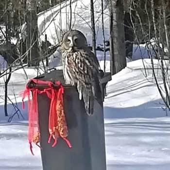 Roskapöntöllä päivystää pöllö