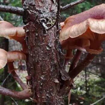Puussa kasvaa sieni
