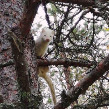 Luontoilta: Valkoinen minkki sähisi puussa