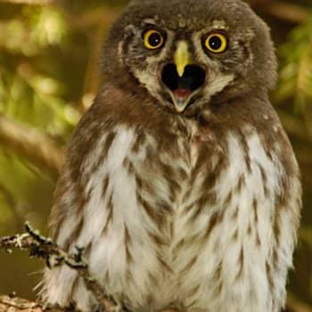 Luontoretki.: Varpuspöllön reviirillä