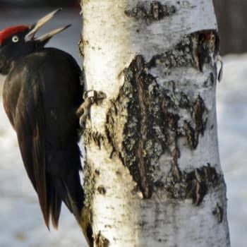 Luonto-Suomi.: Luonto-Suomen tikkailta