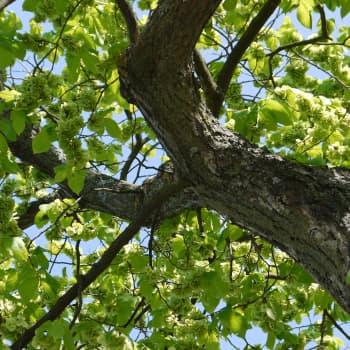 Puisevia tarinoita: Jalava, karhea ja kaunis puu
