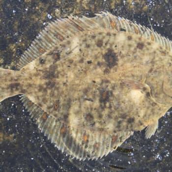 Minna Pyykön maailma: Kalojen elämää sukeltajan silmin