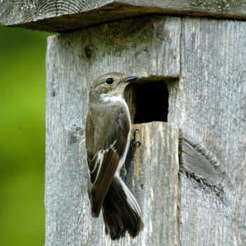 Luonto-Suomi.: Miljoona pönttöä ja miljoonia lintuja
