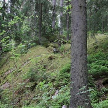 Minna Pyykön maailma: Luonnonperintösäätiö vanhojen metsien asialla
