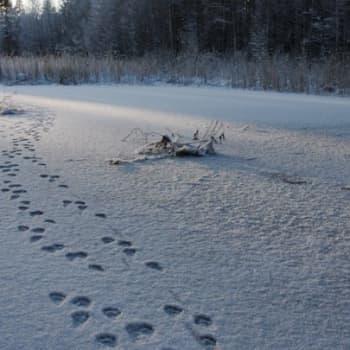Minna Pyykön maailma: Mitä eläinten on uskottu tekevän talvisin?
