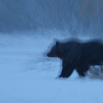 Luontoretki.: Karhuja pimeässä