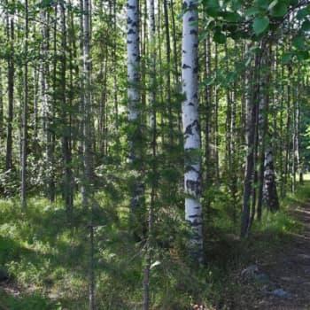 Metsäradio.: Koivu oli vihattu puulaji vielä 1950-luvulla