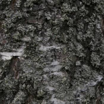 Metsäradio.: Väinölänniemen puita tutkitaan