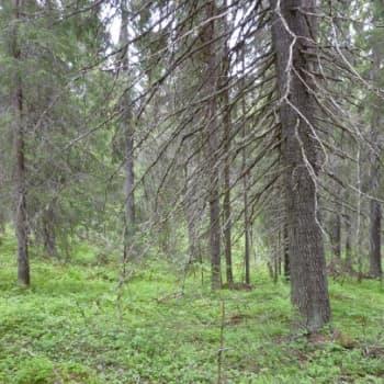 YLE Kainuu: Aarniometsää on kansallispuistoissa ja luonnonsuojelualueilla