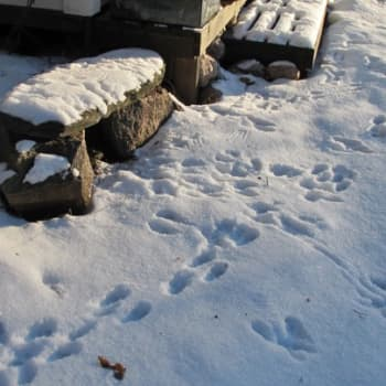 Minna Pyykön maailma: Lumijälkien jäljillä