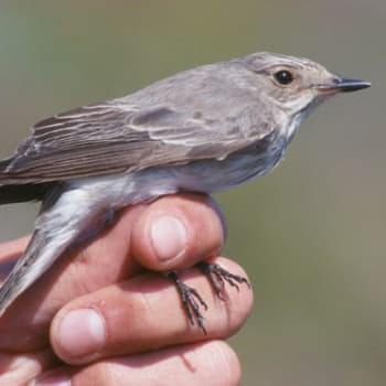 Kevät lintusaarella: Harmaasieppojen massat