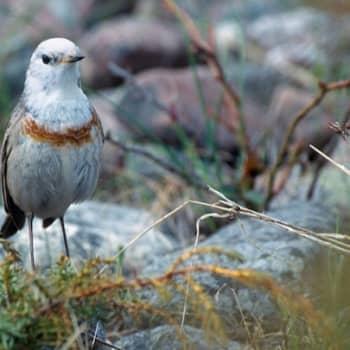 Kevät lintusaarella: Rusorintakerttu ja hyönteissyöjiä