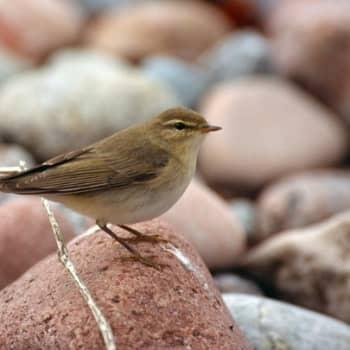 Kevät lintusaarella: Ensimmäinen pajulintu