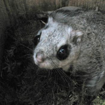 Luontoretki.: Kuopion liito-oravat