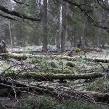 Teemaillat: Vanhojen metsien ilta