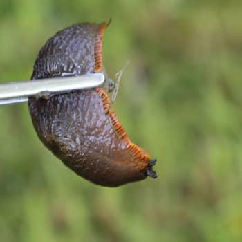 I Fiskars finns det rikligt med spanska skogssniglar - plockas på talko