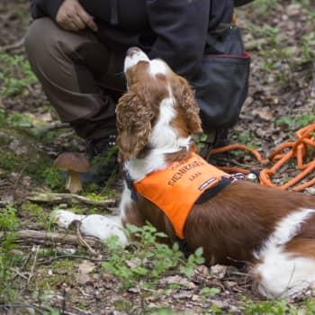 Ta hunden till hjälp i svampskogen