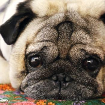 Veterinär: Det finns både mer och mindre ansvarstagande hunduppfödare