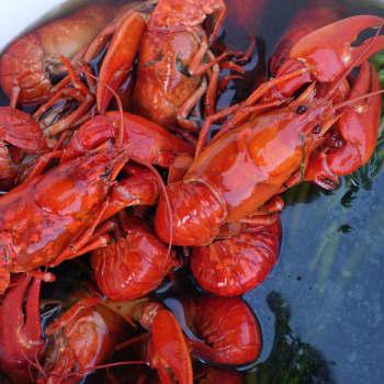 Att koka kräftor levande – är det okej?
