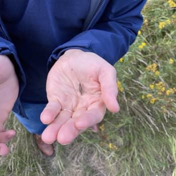 Ovat heinäsirkat ja hepokatit normaalia äänekkäämpiä tänä syksynä?