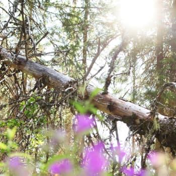 """Metsäyhtiön """"lakkometsä"""" on säilynyt harvinaisen koskemattomana Sotkamon Losonvaarassa"""