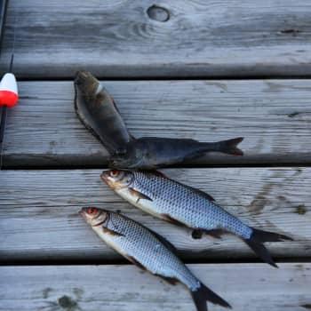 Hur etiskt är det att lägga mask på krok och överlever mörten som slängs tillbaka i havet - fiskeriexperten svarar