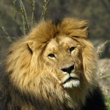 Lejon och intersektionalitet