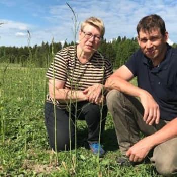 Parsa kasvaa myös savolaisilla pelloilla