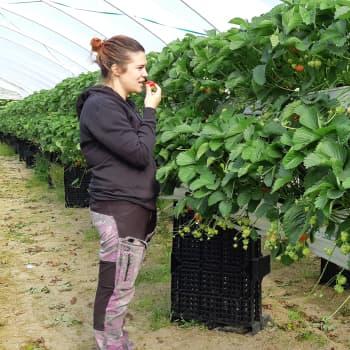 Tunnelissa kasvanut Rumba avaa mansikkakauden