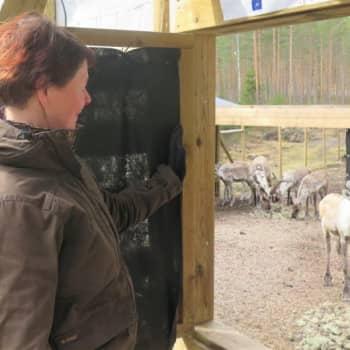 Lea Uimonen on ainoa ihminen, joka pääsee todistamaan Seitsemisen metsäpeuravasojen ensiaskeleita