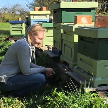 Lämmin sää sai mehiläiset hunajalennoille - yksi pesä tuottaa noin 35 kiloa hunajaa