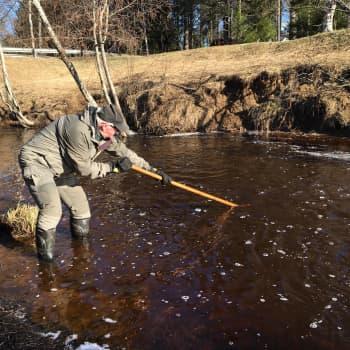 Sanko puolilleen ahvenia yhdellä kaapaisulla: lippoajalla on usein kalaonnea Oulun Kuivasojalla