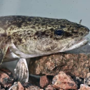 Kaipaavatko kalat jääpeitettä?