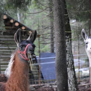 På Juthas Djurgård i Nykarleby trivs och samsas djur av alla de slag