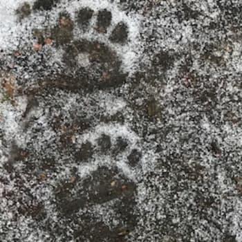 Naturväktarna: Vad är det för spår i snön? Del 1