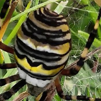 Naturväktarna: Vad är det för en vacker spindel? 13.11.2019, del 2
