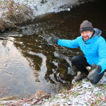 Ingen blinifest för öringens fiender - rekordstort antal öringar i Kallbäcken i Vanda