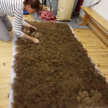 Huovuttaminen vaatii laadukasta villaa  - hyvän villan saaminen vaatii yhteistyötä lampurin kanssa