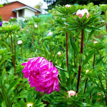 Eläkeläinen Sisko Martikainen on puutarhaharrastuksen Teemu Selänne