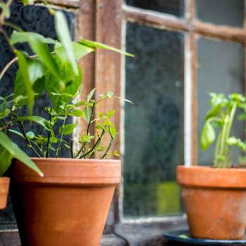 Keittiötarhan voi perustaa vaikka ikkunalaudalle